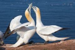 Couples des fous de Bassan du nord dans la colonie d'élevage à l'île Helgoland Image libre de droits