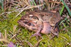 Couples des grenouilles agiles italiennes (latastei de Rana) Photos stock