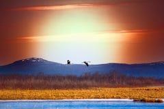 Couples des grues au-dessus du lac de ressort Images stock