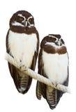 Couples des hiboux à lunettes Images stock