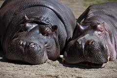 Couples des hippopotames Image libre de droits