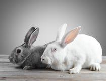 Couples des lapins Photo stock