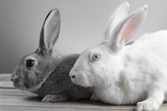 Couples des lapins Photos libres de droits