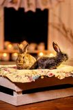 Couples des lapins curieux et soigneux se reposant sur une boîte en bois photo libre de droits