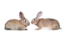 Couples des lapins faits face Photos stock