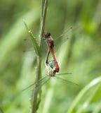 Couples des libellules Image stock