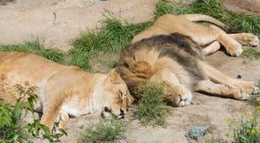 Couples des lions Image stock
