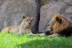Couples des lions dans l'ombre photos libres de droits