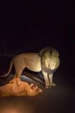 Couples des lions flirtant sur la route par nuit en parc de Kruger, Afrique du Sud Photographie stock
