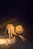 Couples des lions flirtant sur la route par nuit en parc de Kruger, Afrique du Sud Image libre de droits
