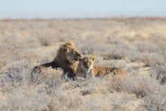 Couples des lions se couchant au sol dans le buisson Safari de faune en parc national d'Etosha, attraction touristique principale Photos stock