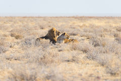 Couples des lions se couchant au sol dans le buisson Safari de faune en parc national d'Etosha, attraction touristique principale Photographie stock
