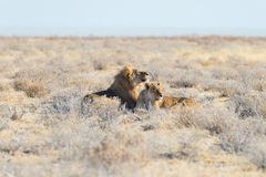 Couples des lions se couchant au sol dans le buisson Safari de faune en parc national d'Etosha, attraction touristique principale Images stock