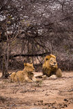 Couples des lions se situant dans la savane, parc de Kruger, Afrique du Sud Photo stock