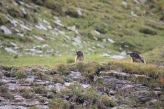 Couples des marmottes alpines Images libres de droits