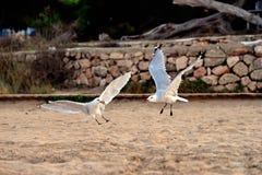 Couples des mouettes débarquant à la plage pendant le coucher du soleil dans Ibiza photographie stock libre de droits