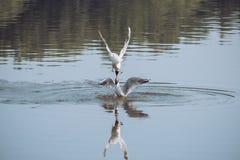 Couples des mouettes jouant dans le ciel près de la rivière de lac de l'eau Concept d'amour d'amis Photo libre de droits