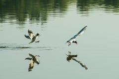 Couples des mouettes jouant dans le ciel près de la rivière de lac de l'eau Concept d'amour d'amis Photographie stock