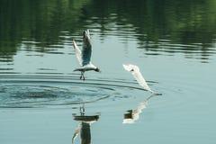 Couples des mouettes jouant dans le ciel près de la rivière de lac de l'eau Concept d'amour d'amis Images libres de droits