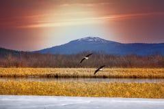 Couples des oies au-dessus du lac de ressort Image stock