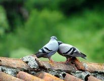 Couples des oiseaux dans la carte de love Image stock
