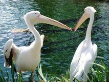 Couples des oiseaux de pélican Photos libres de droits