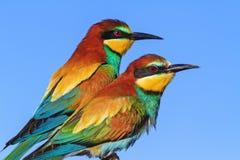 Couples des oiseaux exotiques sauvages Photo stock