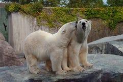 Couples des ours blancs dans l'amour Image stock