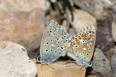 Couples des papillons bleus communs copulant au printemps Image stock