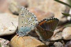 Couples des papillons bleus communs copulant au printemps Photographie stock