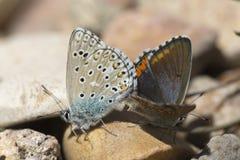 Couples des papillons bleus communs copulant au printemps Photos libres de droits