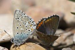 Couples des papillons bleus communs copulant au printemps Photos stock