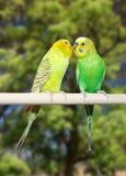 Couples des perroquets Photos stock
