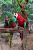 Couples des perroquets d'arums dans l'amour sur une branche d'arbre Photo libre de droits