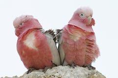 Couples des perroquets roses dans le vent image libre de droits