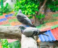 Couples des pigeons Photo libre de droits