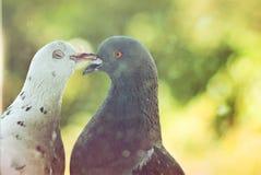 Couples des pigeons dans l'amour Images libres de droits
