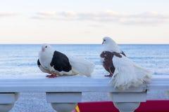 Couples des pigeons noirs et blancs Images stock
