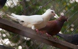 Couples des pigeons se reposant au pigeon de branche, blanc et brun Images stock