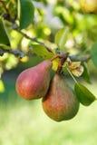 Couples des poires sur l'arbre Images stock