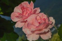 Couples des roses au soleil photos libres de droits