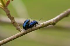 Couples des scarabées de feuille d'aulne joignant sur une brindille - alni d'Agelastica Image libre de droits