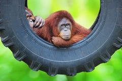 couples des singes dans la forêt photos libres de droits