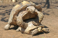 Couples des tortues Photos libres de droits