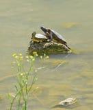Couples des tortues de l'eau Image libre de droits