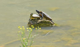 Couples des tortues de l'eau Photo stock