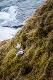 Couples doux des mouettes blanches sur les falaises et la cascade de skogafoss en Islande Images libres de droits