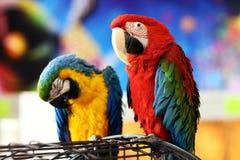 Couples doux : deux perroquets se reposant sur une cage Photos libres de droits