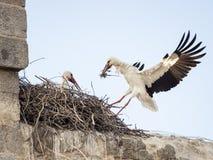 Couples du ciconia de Ciconia de cigognes blanches, l'un d'entre eux atterrissage dedans photos libres de droits