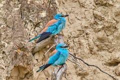 Couples du garrulus de Coracias de rouleau européen se reposant sur une branche photographie stock